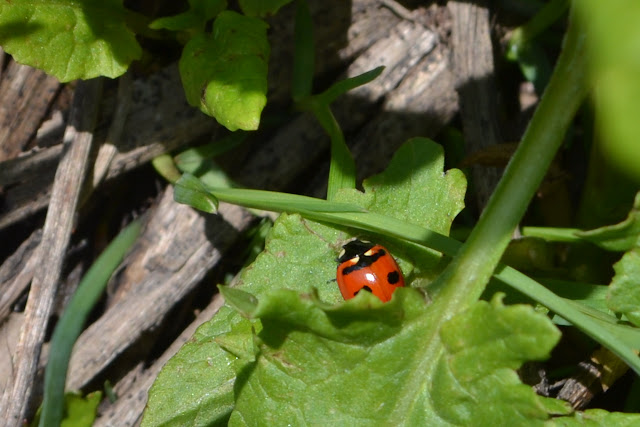 red beatle with black spots