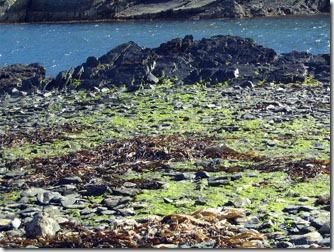 Ushuaia_ilha-H-vegetacao-algas-pedras-2