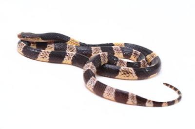 दुनिया के 10 सबसे जहरीले सांप | 10 Most Poisonous Snake In The World