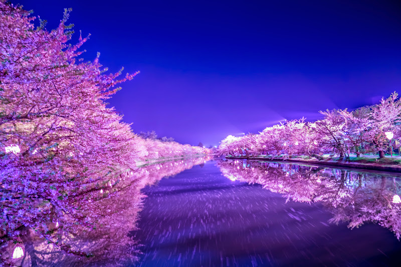 Hirosaki Park cherry blossoms illumination photo11