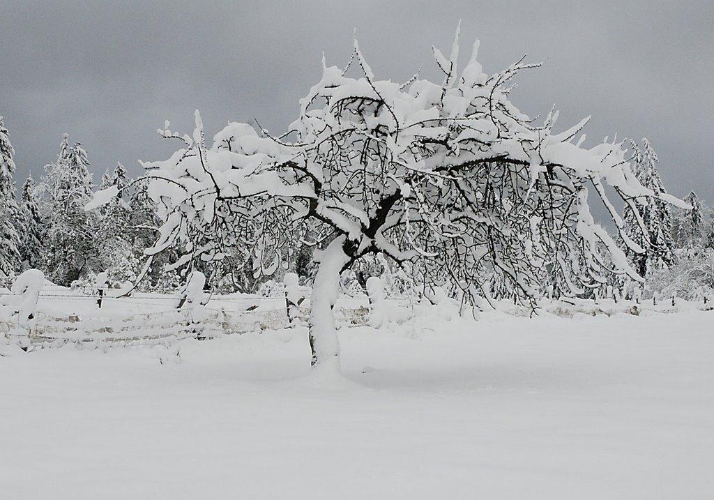 barnes - Snow%2BTree.jpg