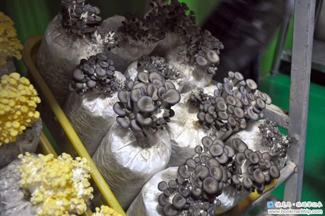 魔菇部落生態休閒農場日本蠔菇