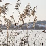 Обыкновенный зимородок (Alcedo atthis)
