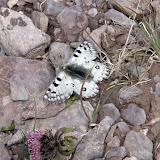 Parnassius actius brutus BANG-HAAS, 1915 (?) mâle, Mukhur-Chechekty, 4500 m, N 38°09.410' E 74° 22.461', Pamir oriental, Tadjikistan, 24 juillet 2007. Photo : F. Michel