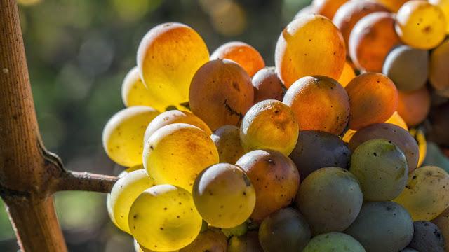 2014 vendange du chenin liquoreux, premier tri. - 2014-10-18%2BGuimbelot%2Bvendanges%2Bdu%2Bchenin-133.jpg