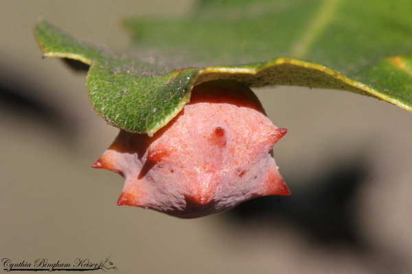 Spined Turbaned Gall Wasp
