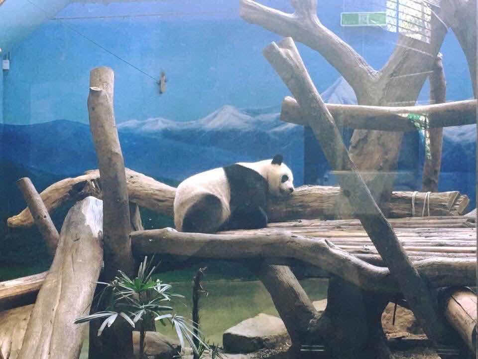 pandas at taipei zoo taiwan travel