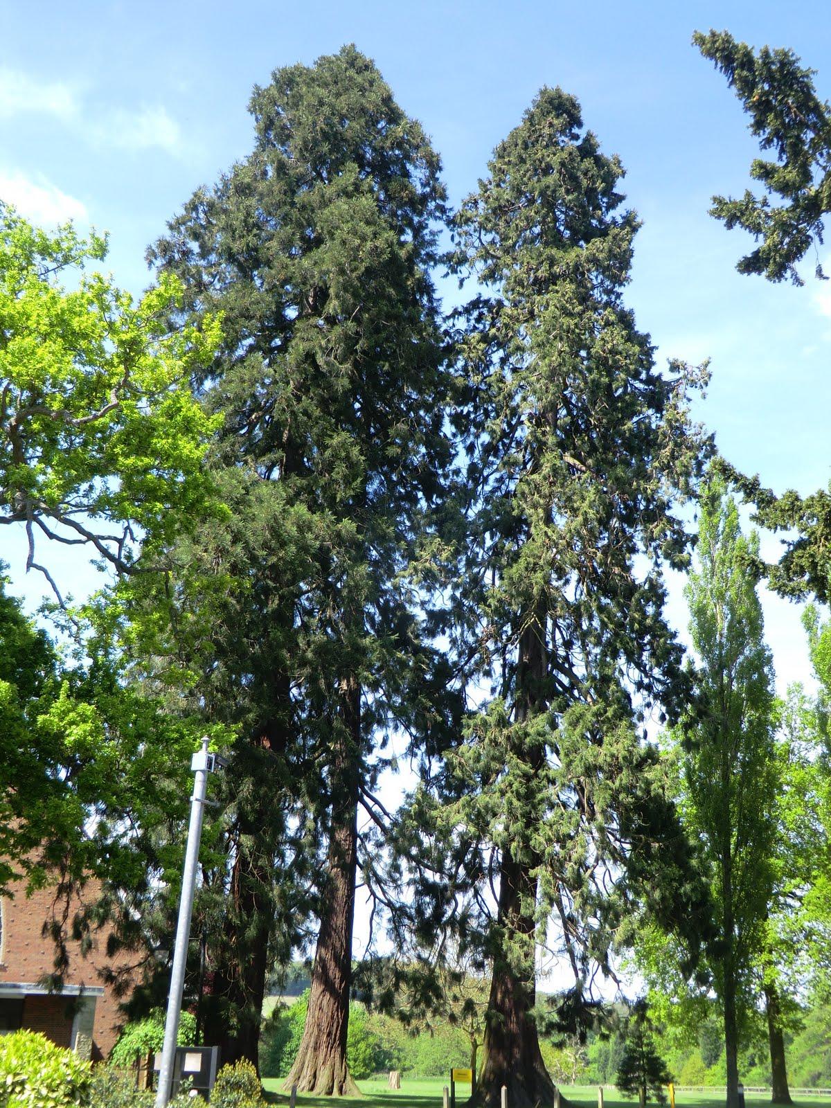 CIMG6809 Wellingtonia trees, Gatton Park