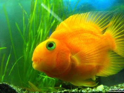 pesti la gradina zoologica: pestisorul auriu