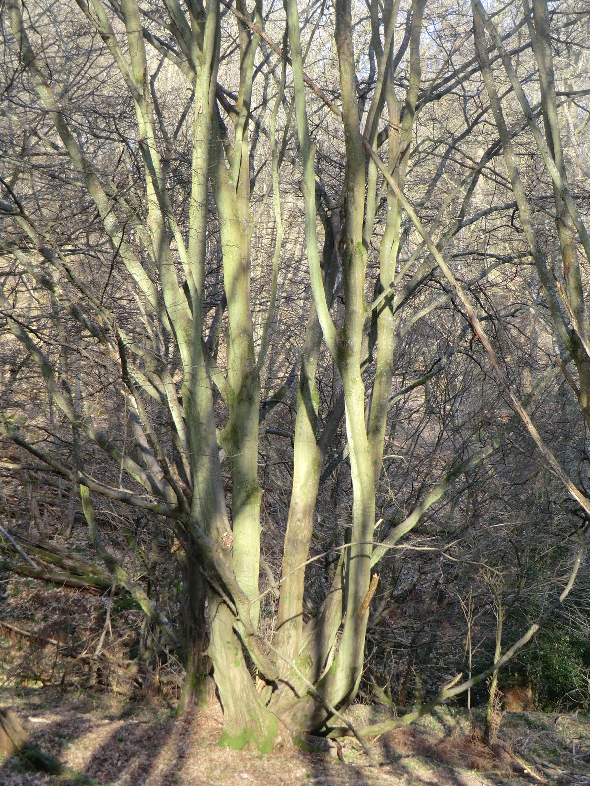CIMG5935 Ancient hornbeam in Coomb Wood