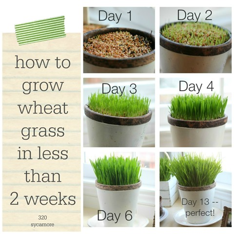 how to grow wheat grass in less than 2 weeks
