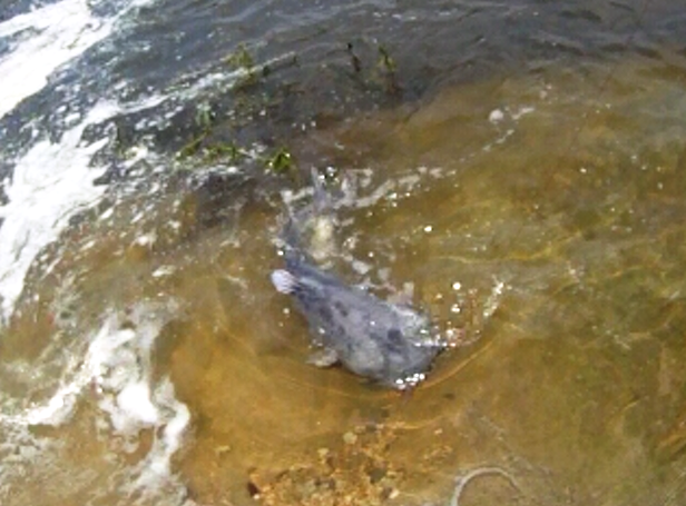 Lake lavon tailrace this round stocker trout fishing for Lake lavon fishing