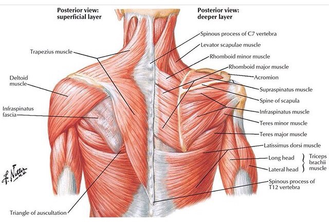 The Physio Room: Beautiful illustration of the deep and superficial ...