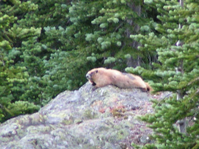 Fuzzy marmot near Camp Mystery