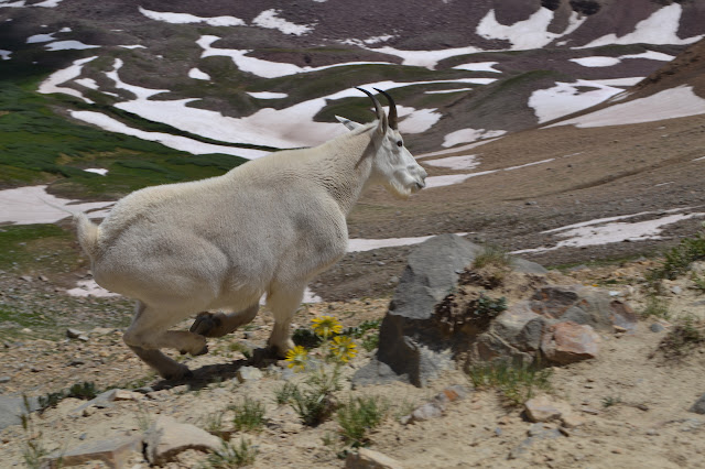 mountain goat running for it