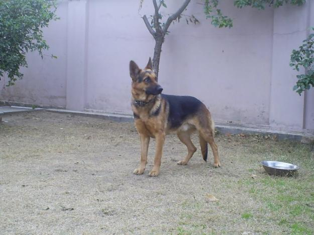 ANIMAL COLLECTION: PAIR OF GSD FOR SALE IN CHAKWAL