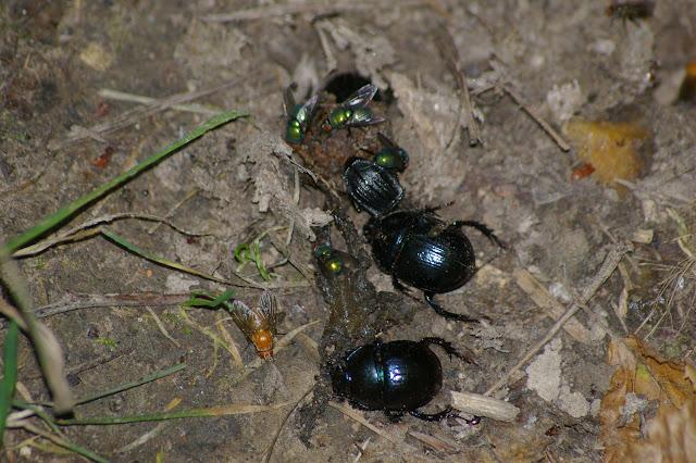 Geotrupes stercorarius L., 1758. Les Hautes-Lisières (Rouvres, 28), 27 juin 2011. Photo : J.-M. Gayman