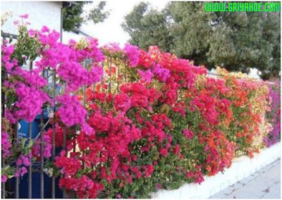 Memilih jenis bunga untuk pagar