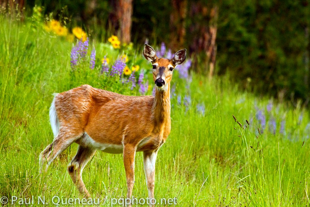 An elegant whitetail doe enjoys the lushness of a wet spring in the North Hills above Missoula.