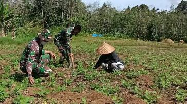 Wujud Kepedulian Satgas TMMD Tapsel Bantu Warga Panen Kacang Tanah
