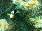 Nemo in der Anemone