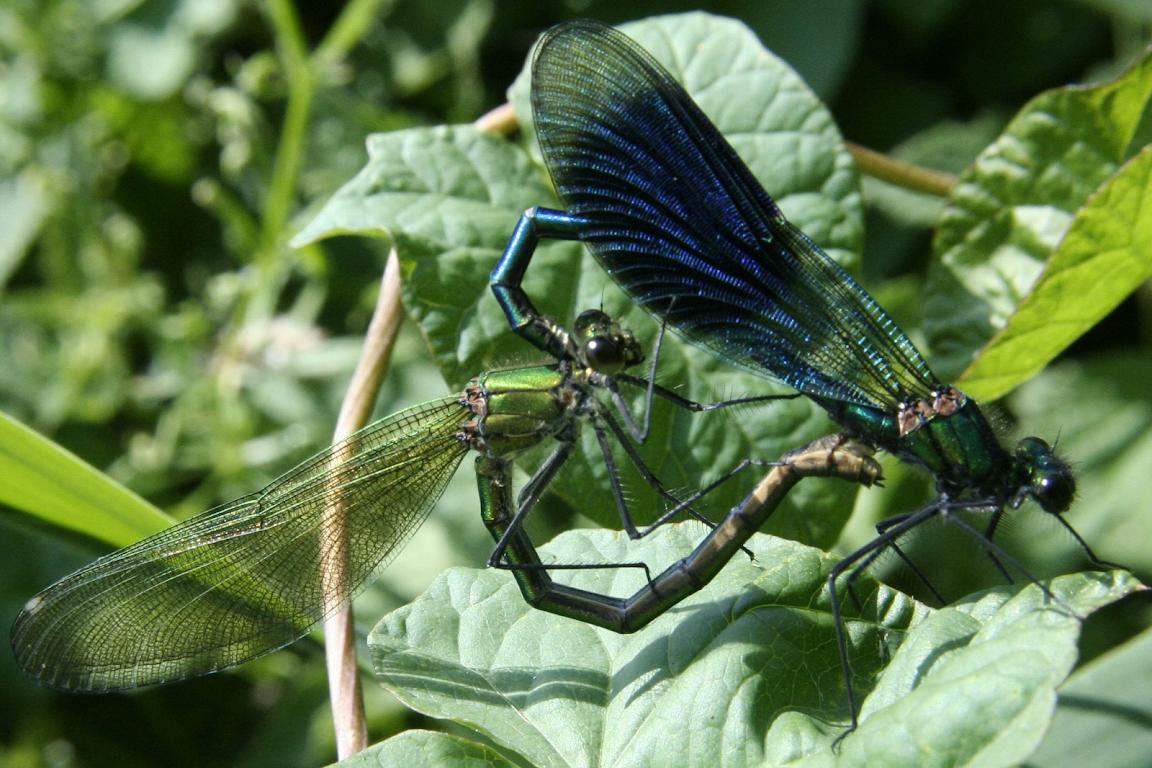 Photography Thread Calopteryx%2Bsplenden-mating