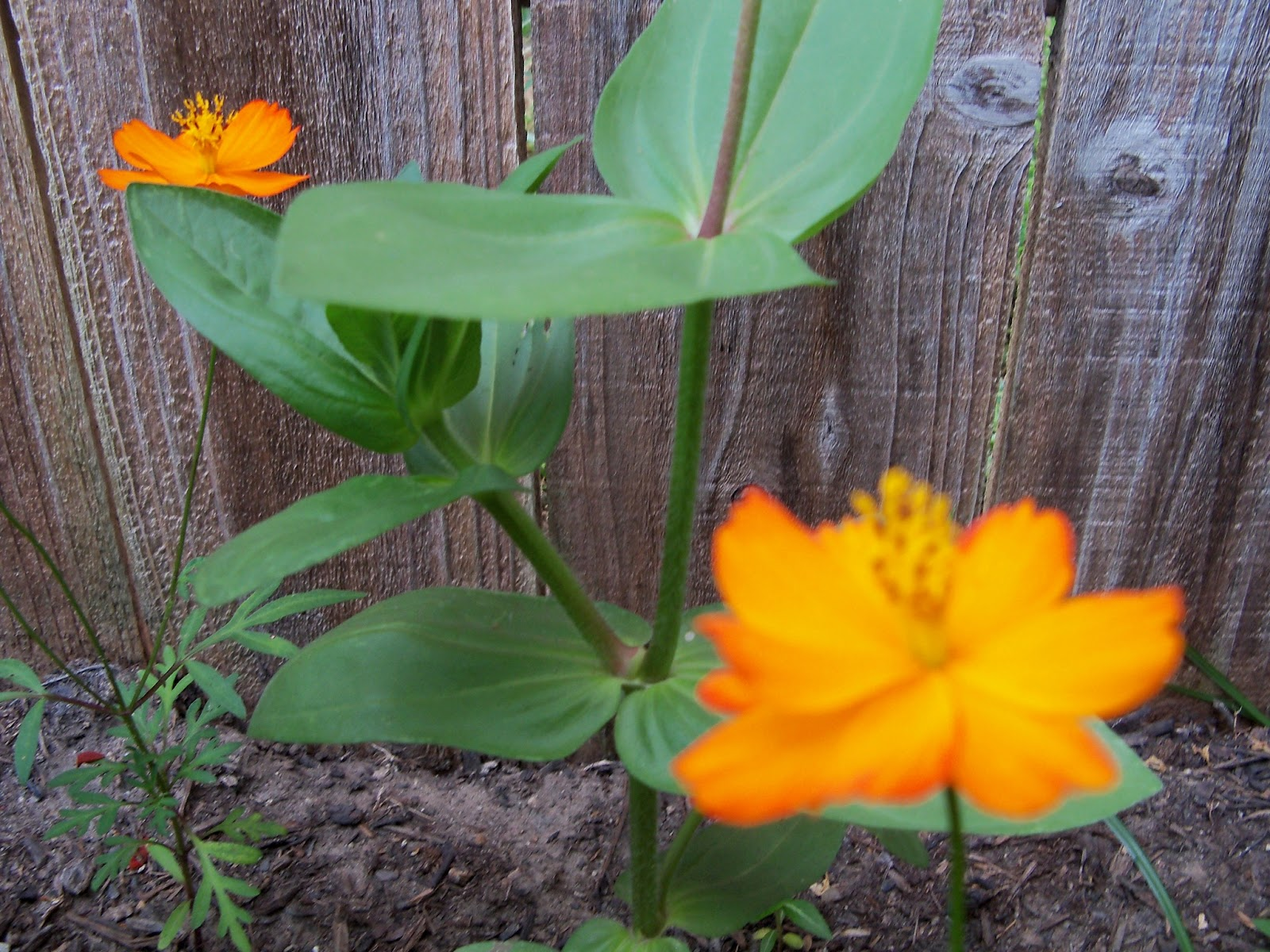 Gardening 2012 - 115_1823.JPG