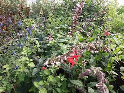 Salvia officinalis e salvie ornamentali coltivazione for Tutto x giardino