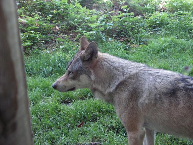 Les Loups de Chabrière PICT0416