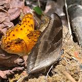 Phalantha eurytis (DOUBLEDAY, 1847) (à gauche) et Charaxes laodice bernardina PLANTROU, 1978, mâle. Ebogo (Cameroun), 19 avril 2013. Photo : Daniel Milan
