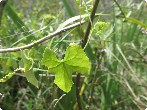 Creeping Cucumber Melothria Pendula (1)
