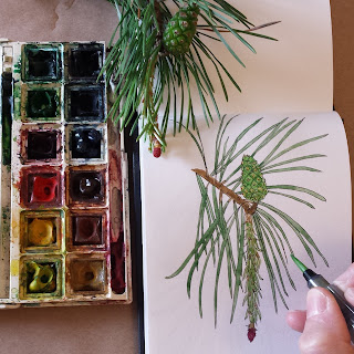 Scots Pine drawing by Alice Draws The Line