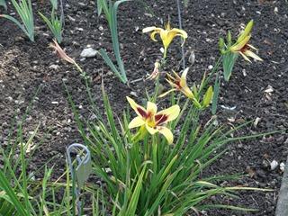 2016.08.05-038 jardin d'iris