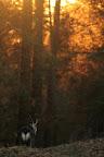 FEU DE FORET   Derniers rayons sur les pâturages du haut-Jura