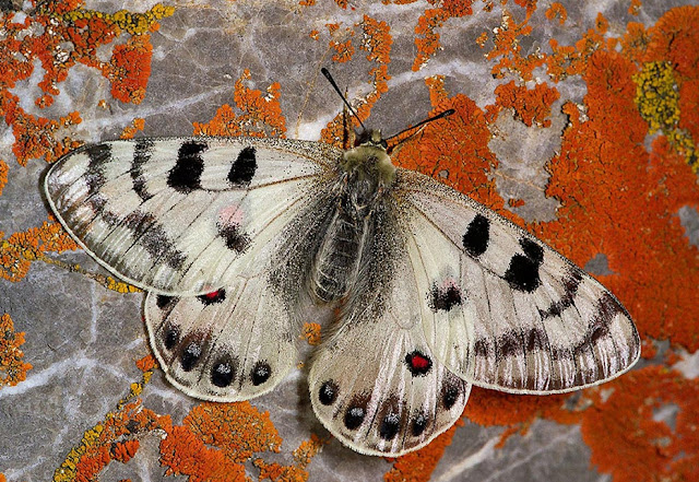 Parnassius (Kailasius) davydovi CHURKIN, 2006, mâle. Moldo Tau, Kyrgyzistan, juillet 2009. Photo : V. Pletnev