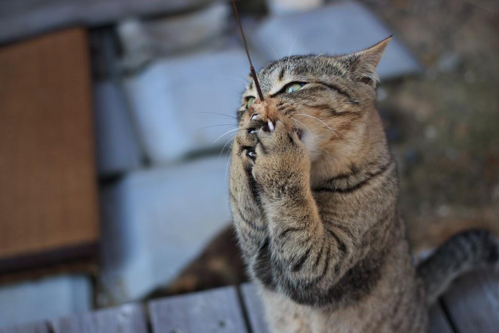 猫じゃらしに夢中な青島の猫