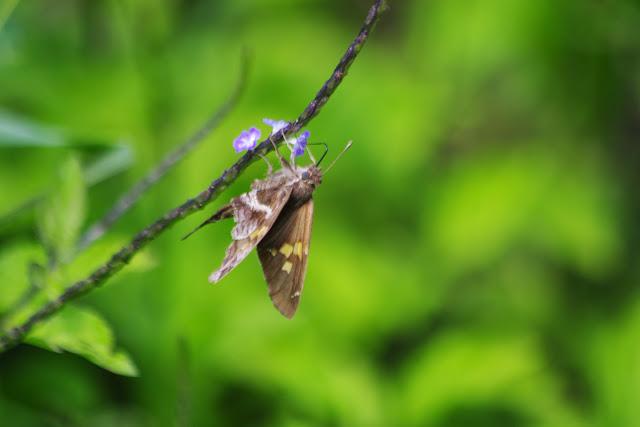 Chioides catillus albius EVANS, 1952. Vallée du Rio Guallupe, 1600 m (Imbabura, Équateur), 2 décembre 2013. Photo : J.-M. Gayman