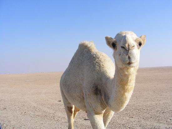 Kuwait desert friend