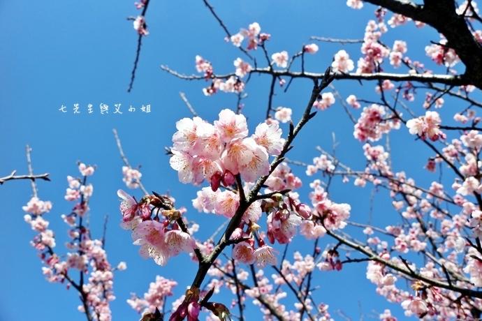 4 平菁街42巷櫻花