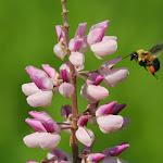 macro-bee 2594584432.jpg