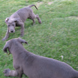Neytiri & Blue playing @ 8 weeks