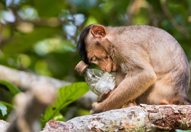 'Not in My Forest' by Calvin Ke, taken in Malaysia in 2018, received a Highly Commended award from the Chartered Institution of Water and Environmental Management. He saw this southern pig-tailed macaque clutching a discarded bottle, examining and tasting it before sinking into this expressive pose. Photo: Calvin Ke / CIWEM