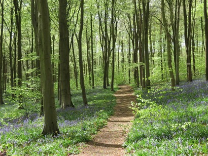 Wood-bluebells