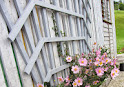rosa Japananemone schönes foto IMG_0700.JPG