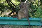 En bavian holder pause på autoværnet.