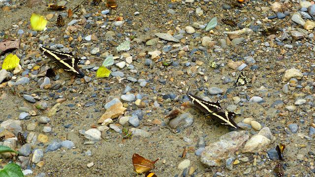 Papillons mud-puddlant : au moins onze espèces, dont Heraclides paeon paeon, Marpesia corinna, Catasticta sp. et Hesperocharis marchalii. Chovacollo, près de Coroico, 1800 m (Yungas, Bolivie), 29 décembre 2014. Photo : Jan Flindt Christensen