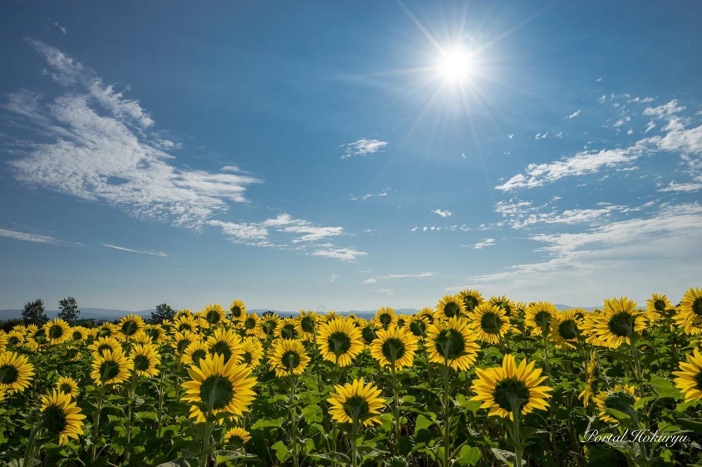 太陽パワーを仰ぐひまわりさん!