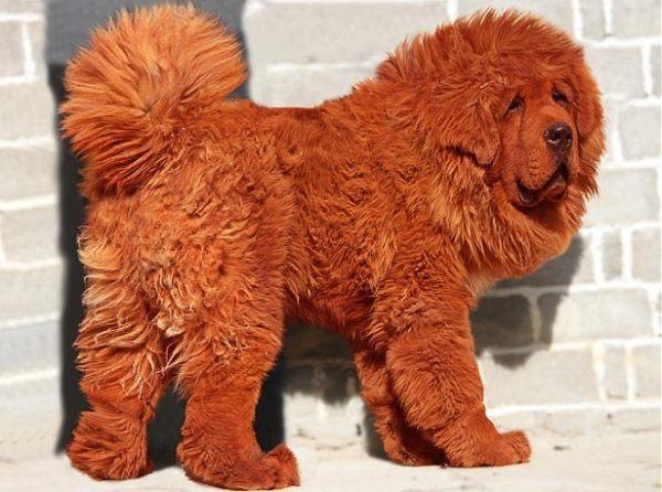 Random Ridiculousness The Tibetan Mastiff That Sold For 16 Million