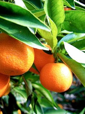 tangerines hanging