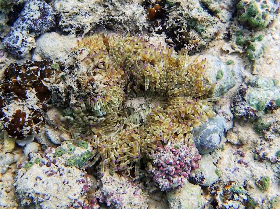 Heteractis aurora (Beaded Anemone), Miniloc Island Resort Reef, Palawan, Philippines.